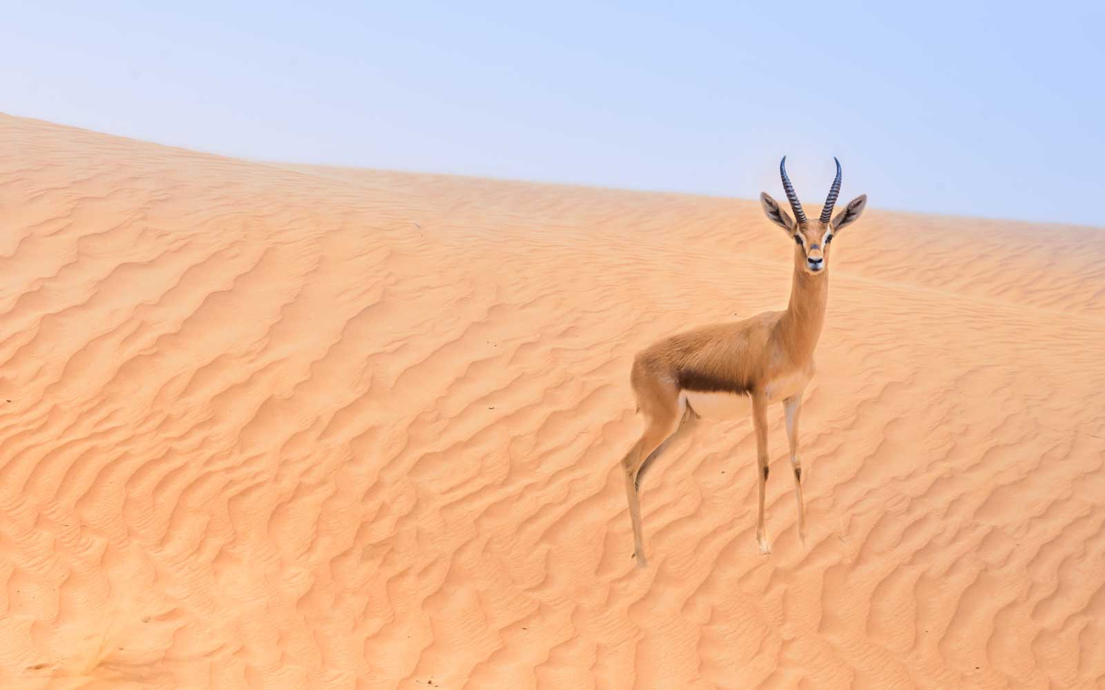 Sand gazelle in in the Dubai Desert Conservation Area, Dubai