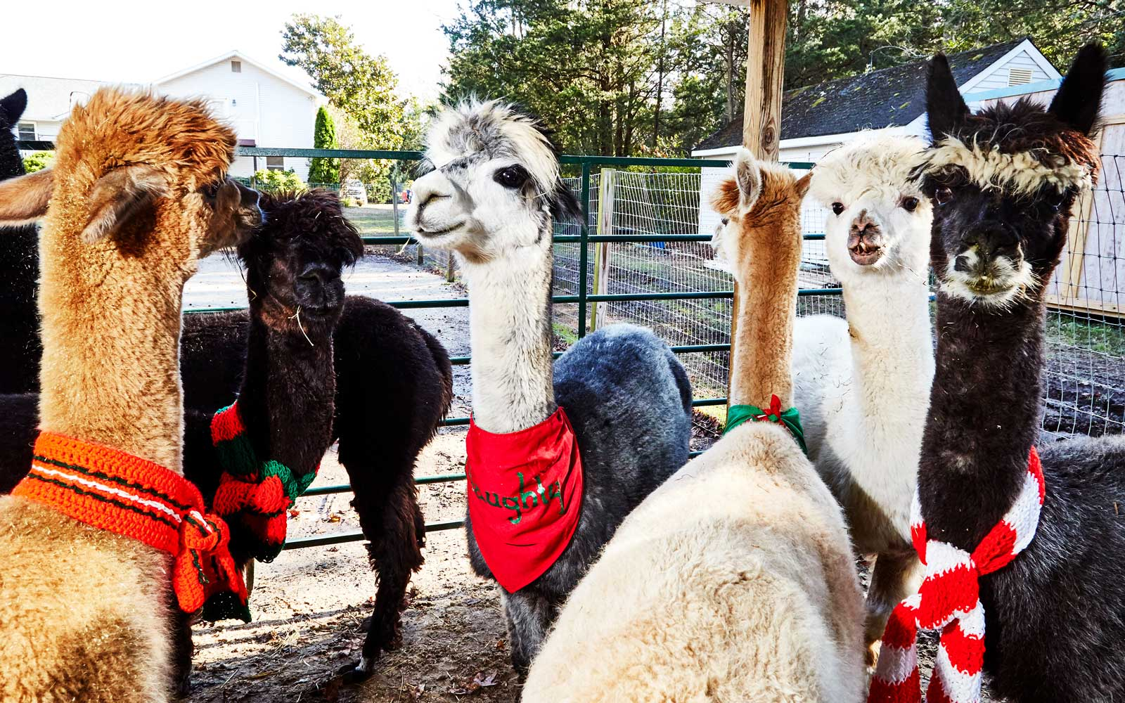 This Jersey Shore Alpaca Farm Has More Christmas Spirit Than the North Pole — and You Can Visit