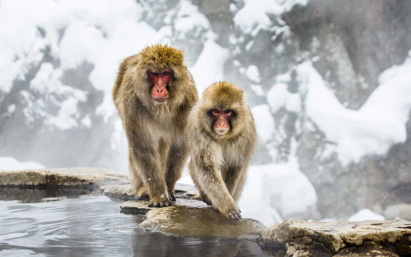 Japanese macaques on the rocks near the hot springs. Japan. Nagano. Jigokudani Monkey Park.