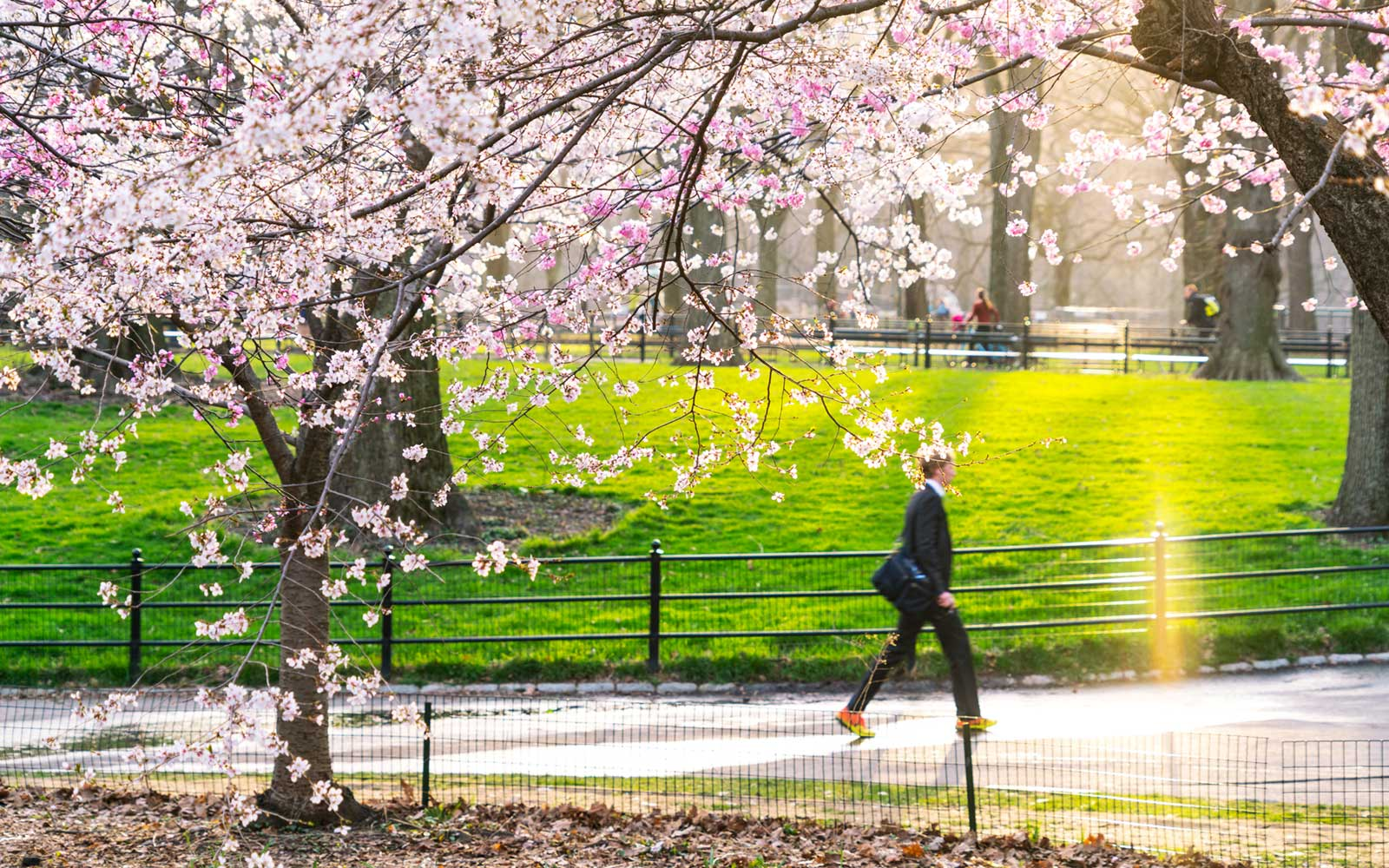 Cherry Blossoms in Central Park, New York City