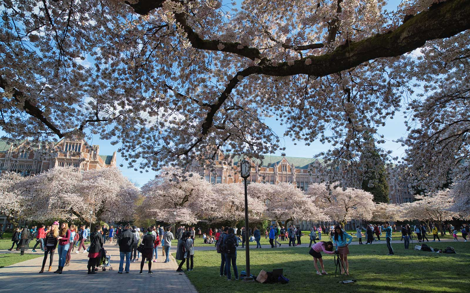 Cherry Blossoms at the University of Washington in Seattle, Washington