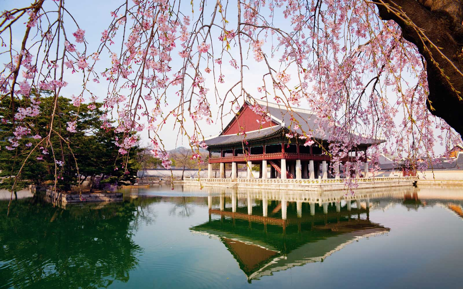 Cherry Blossoms at Gyeongbokgung Palace in Seoul, South Korea