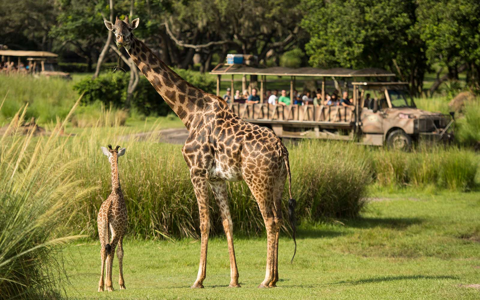 A Giraffe Gave Birth at Disney World in Front of the Most Surprised Safari Ride Guests