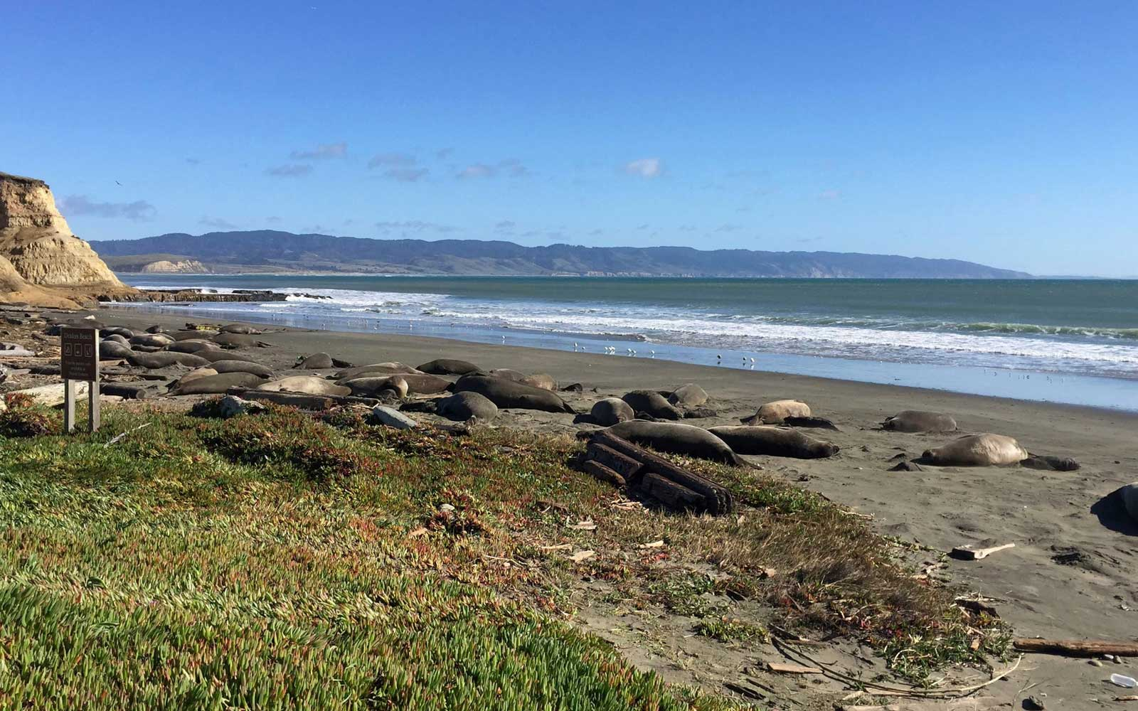 Jan. 21, 2019, Point Reyes National Seashore's colony of elephant seals that took over a beach in Northern California
