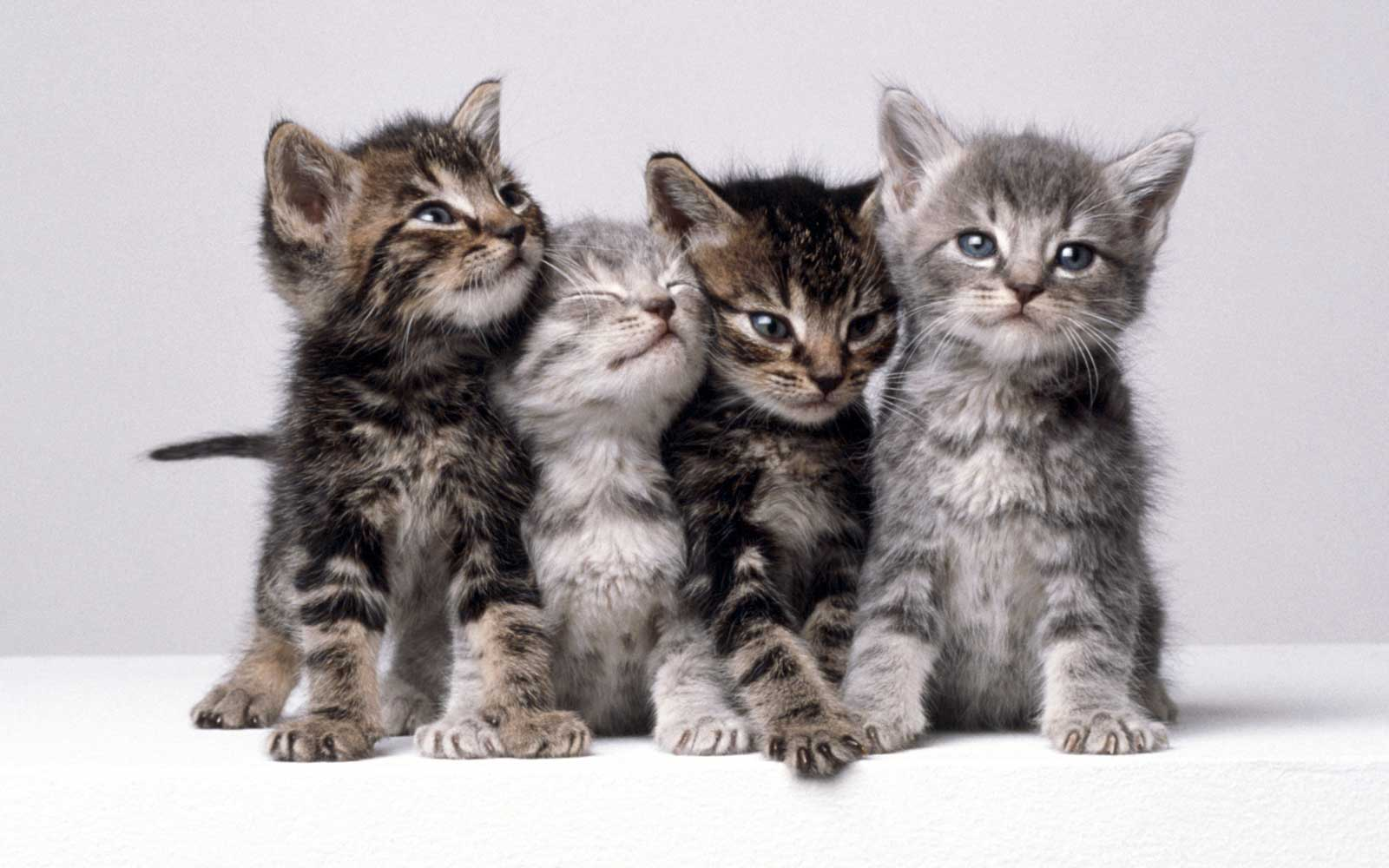 Four gray kittens on a gray background