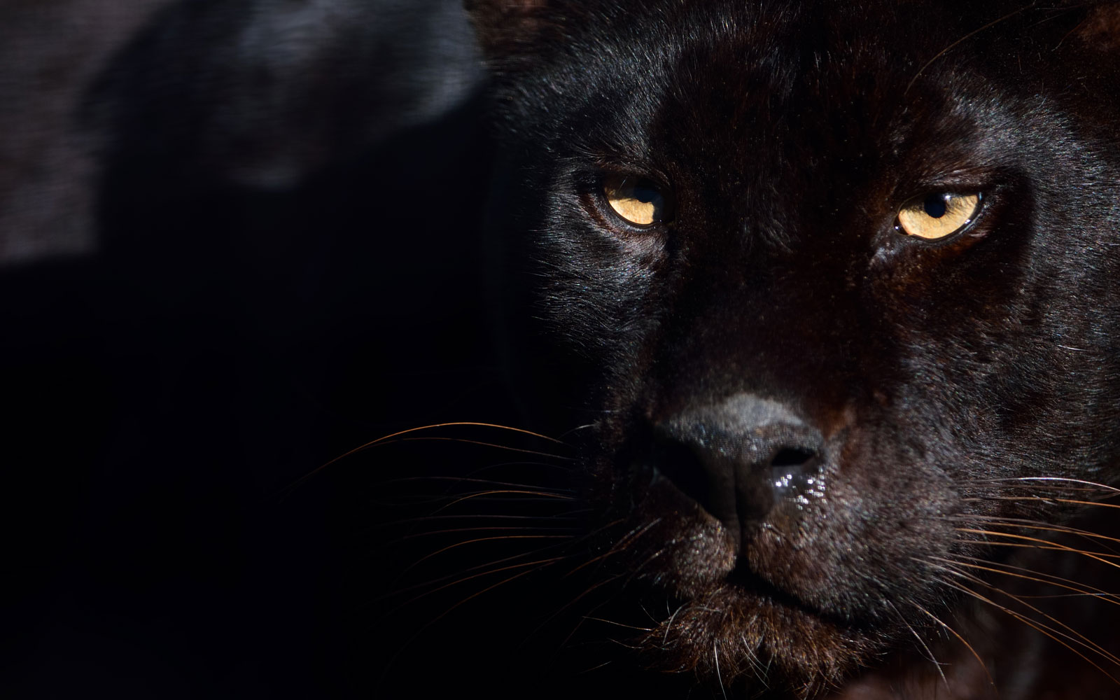 Rare African Black Leopard Photographed in the Wild for the First Time in a Century