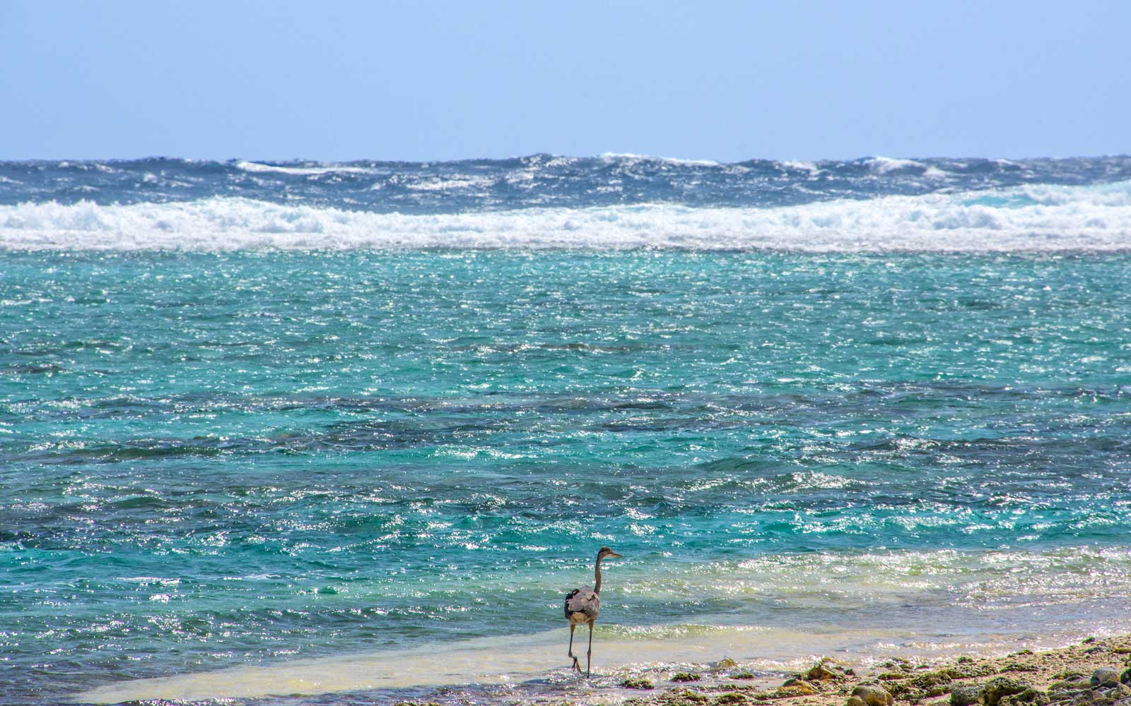 Heron walking on the beach at Half Moon Caye. Belize Caribbean.