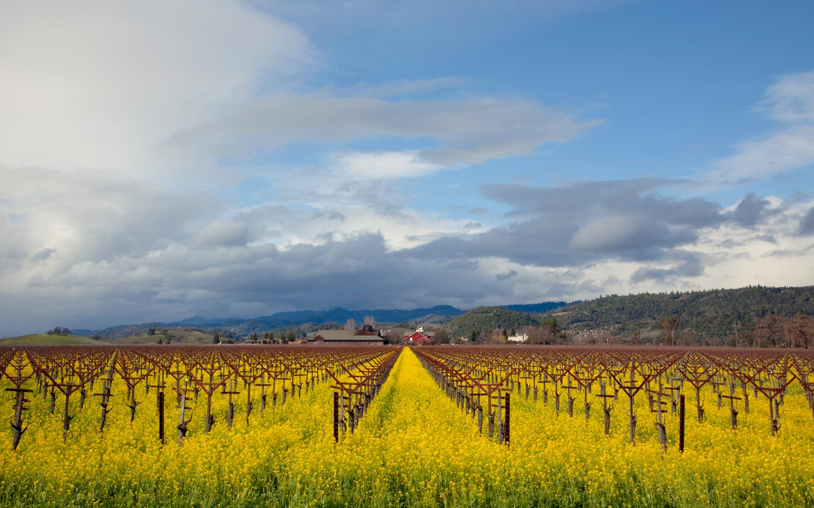 Vineyard and Mustard Flowers in Napa Valley