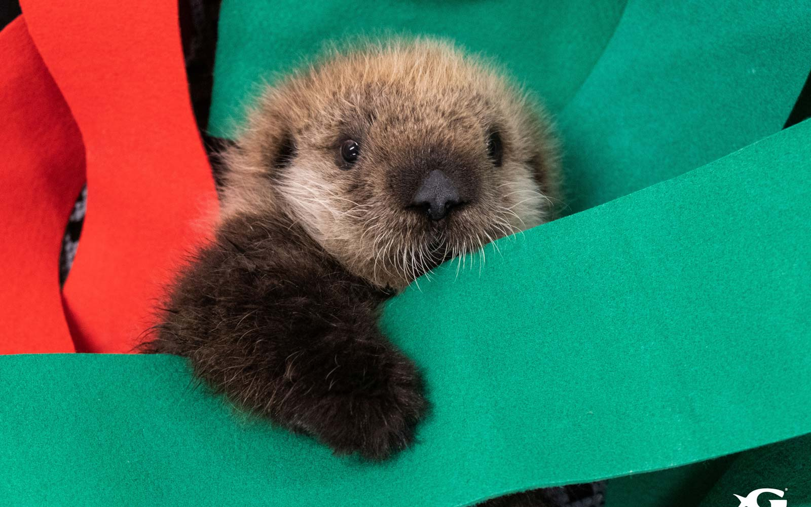2 Stranded Baby Sea Otters Have Found a New Home at Georgia Aquarium