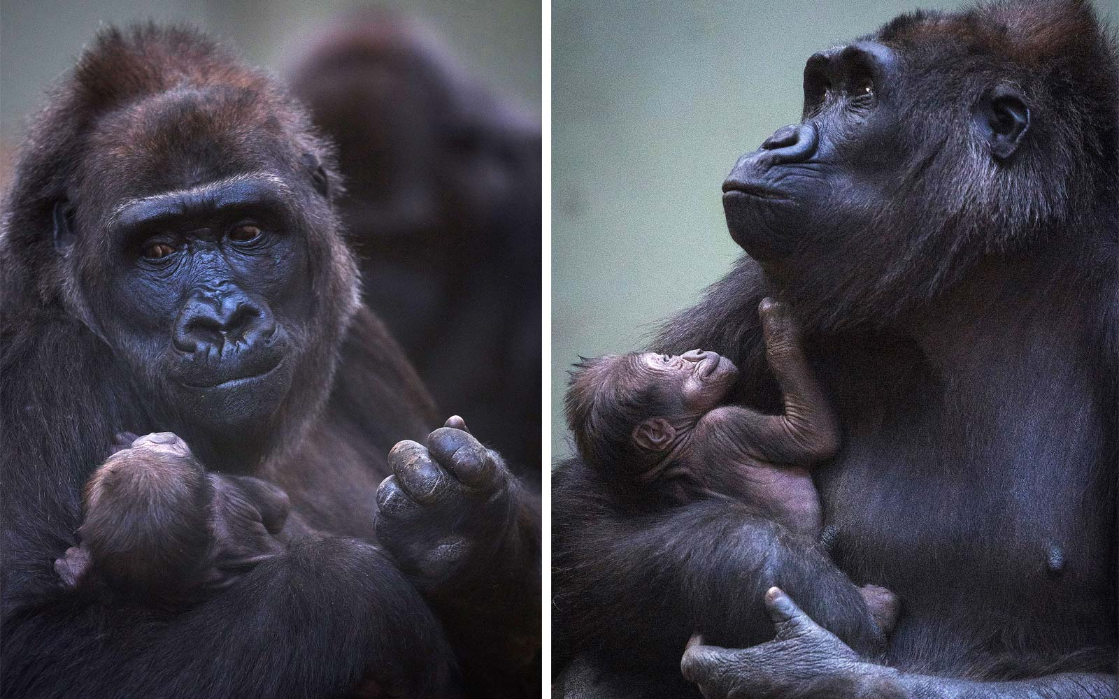 First-Time Gorilla Mom at Dublin Zoo Can't Stop Holding and Smiling at Her New Baby