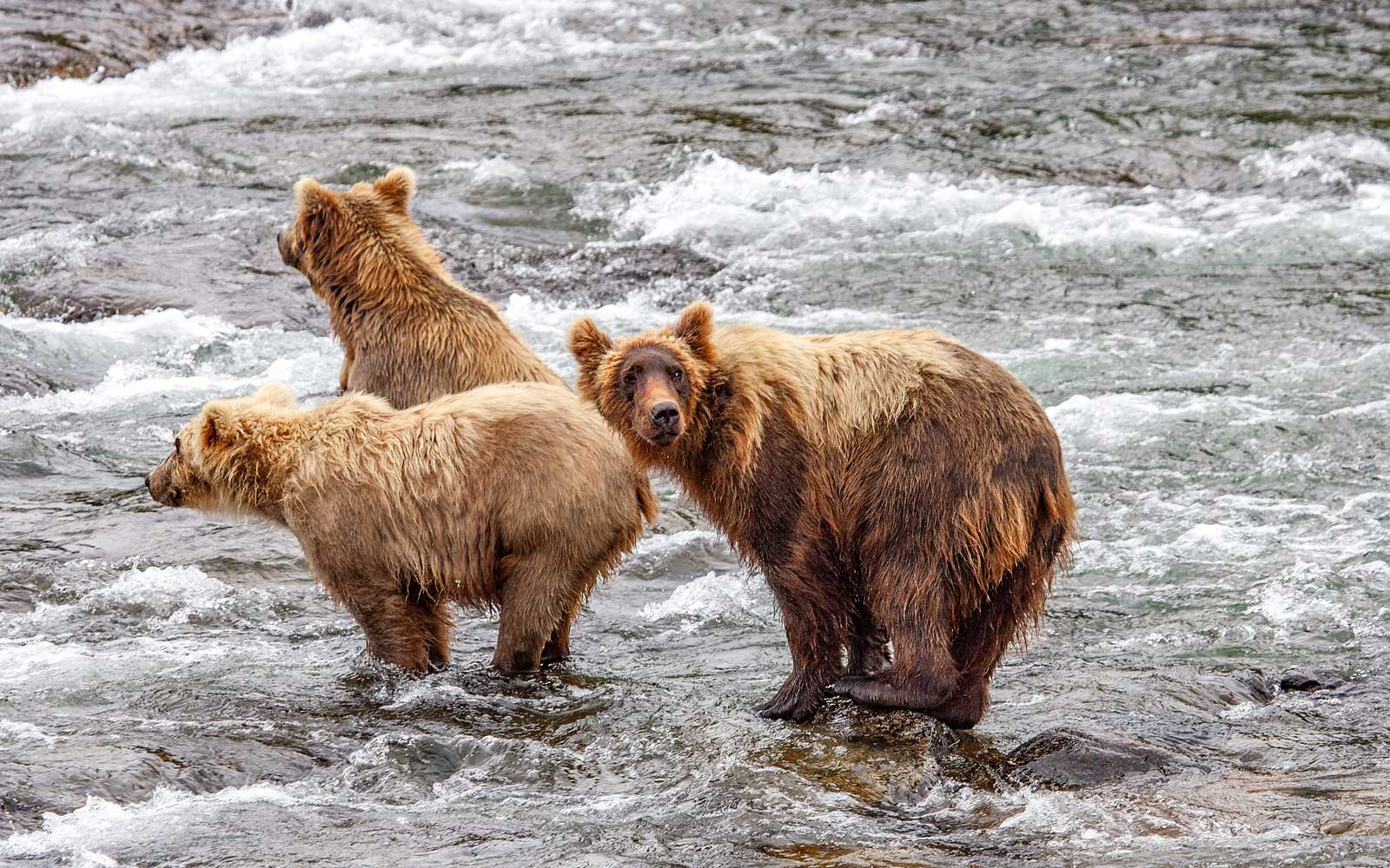 Grizzly bears fishing for salmon at Brooks Falls, Katmai NP, Alaska