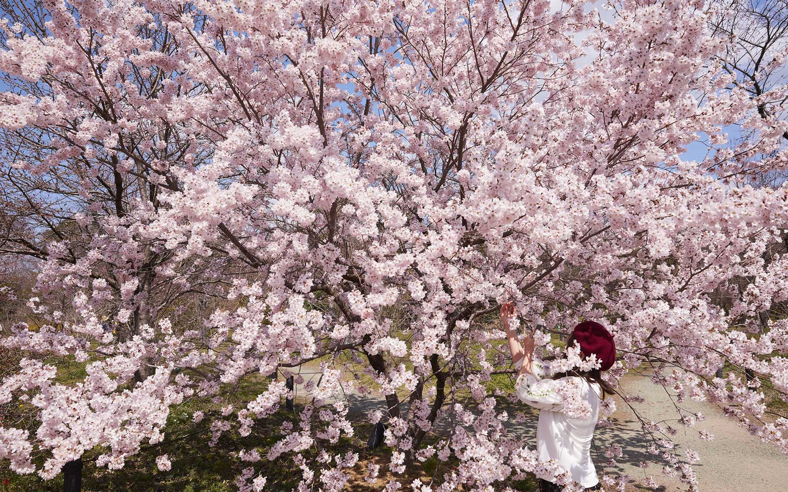 Japan's Cherry Blossoms Are in Full Bloom — See the Photos