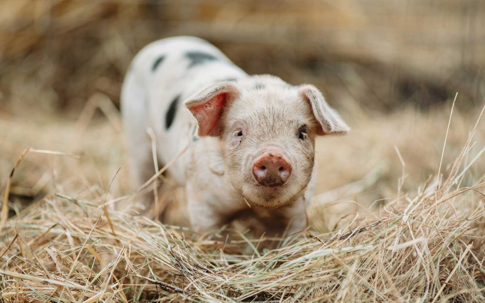 You Can Do Pilates With Miniature Pigs on This Farm in England