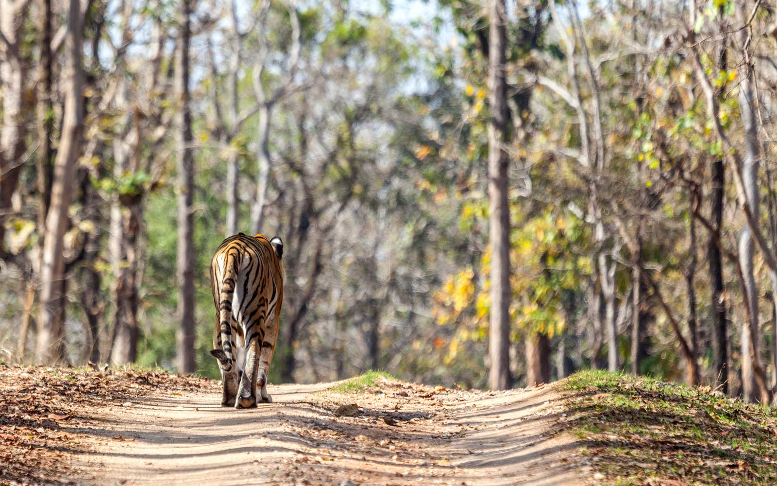 Going On a Tiger Safari in India Is More Than Just a Chance to See the Majestic Animals — It's a Chance to Help Save Them