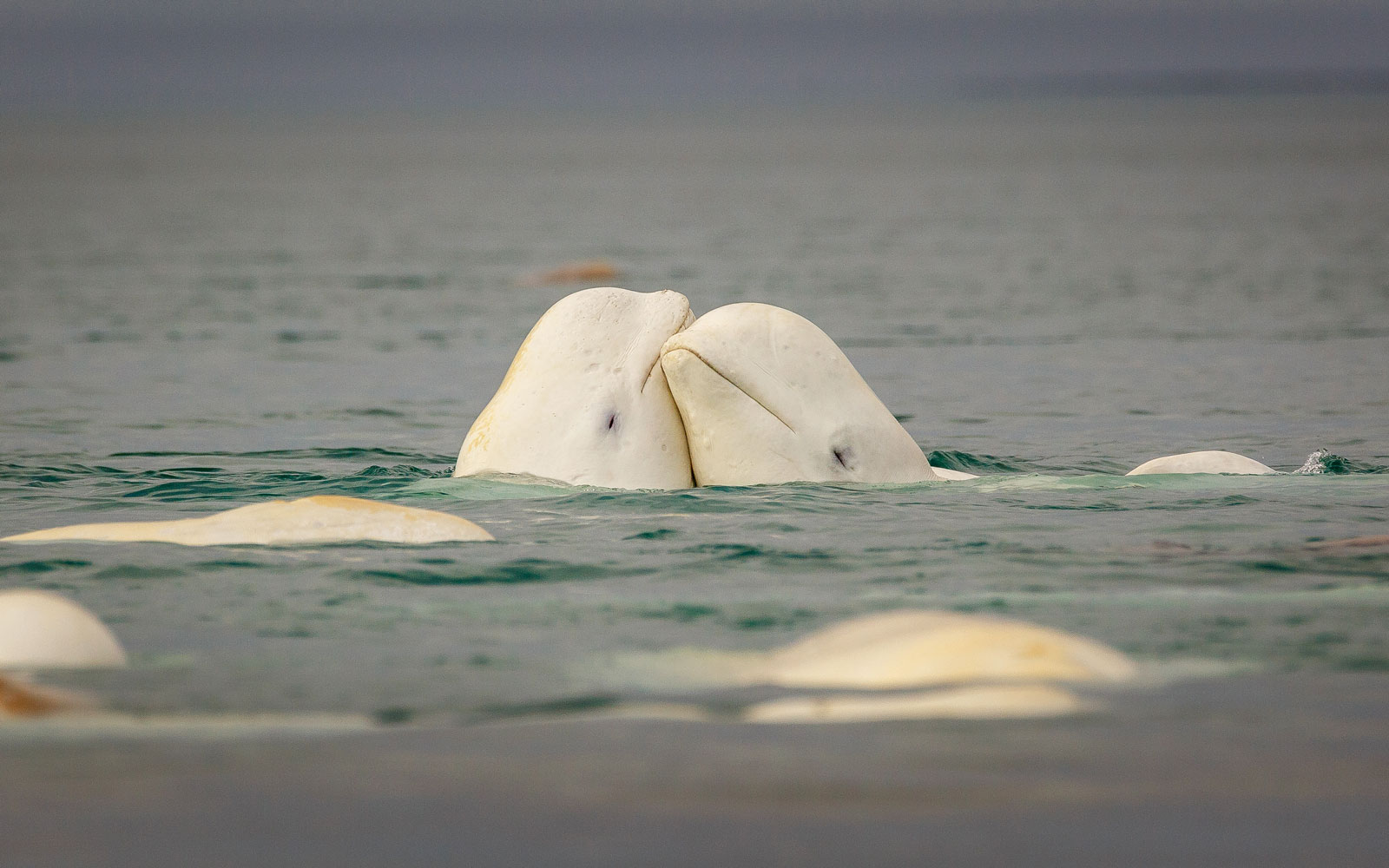 The First-ever Open-water Beluga Sanctuary Will Welcome Two Adorable Whales in June