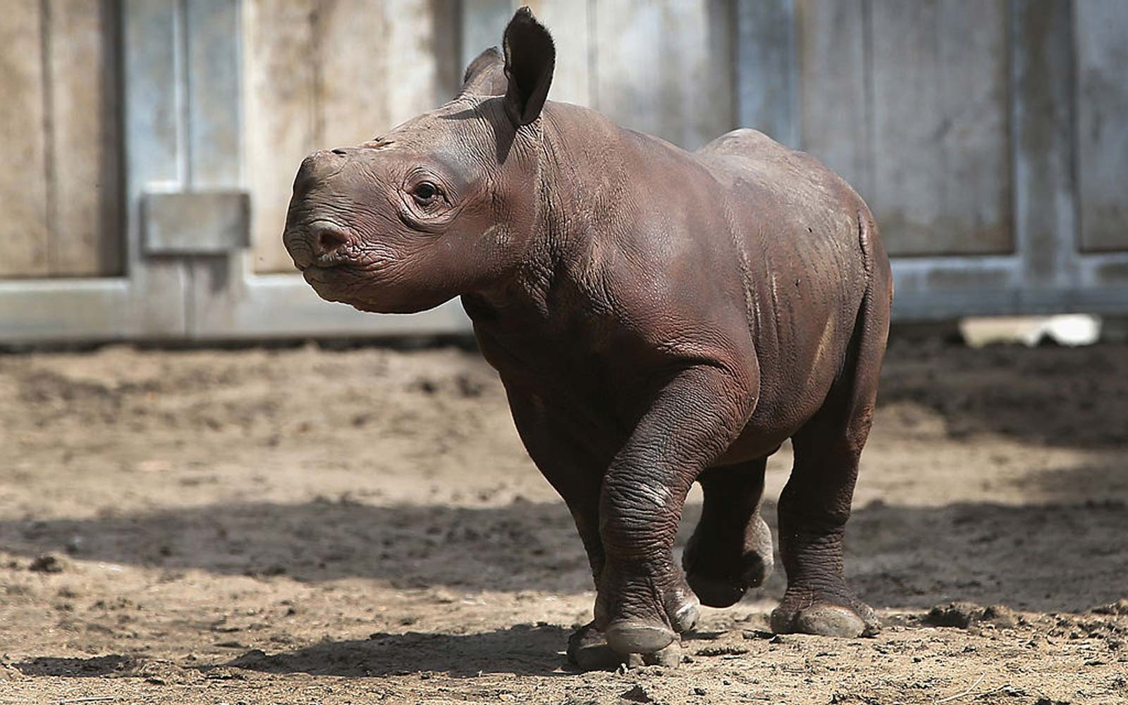 Adorable Baby Rhino Calf Named Kamara Makes Her Debut at Des Moines Zoo