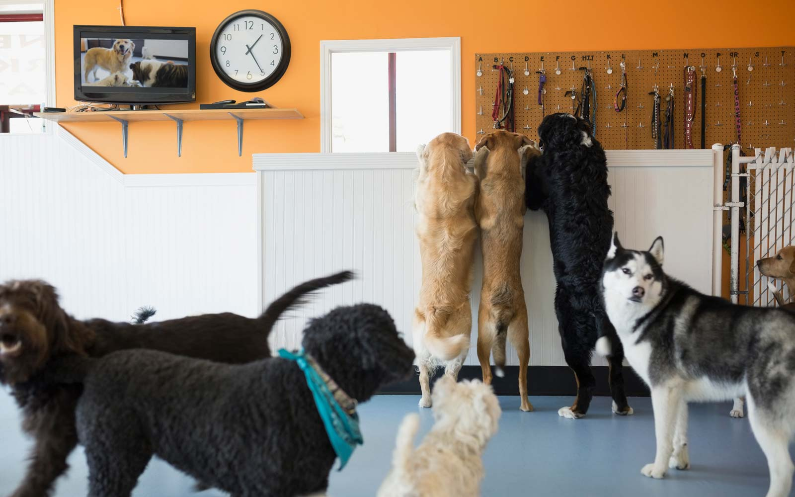 Dog Runs Away From Home, Travels Over a Mile to Hang Out With His Friends at Doggy Daycare