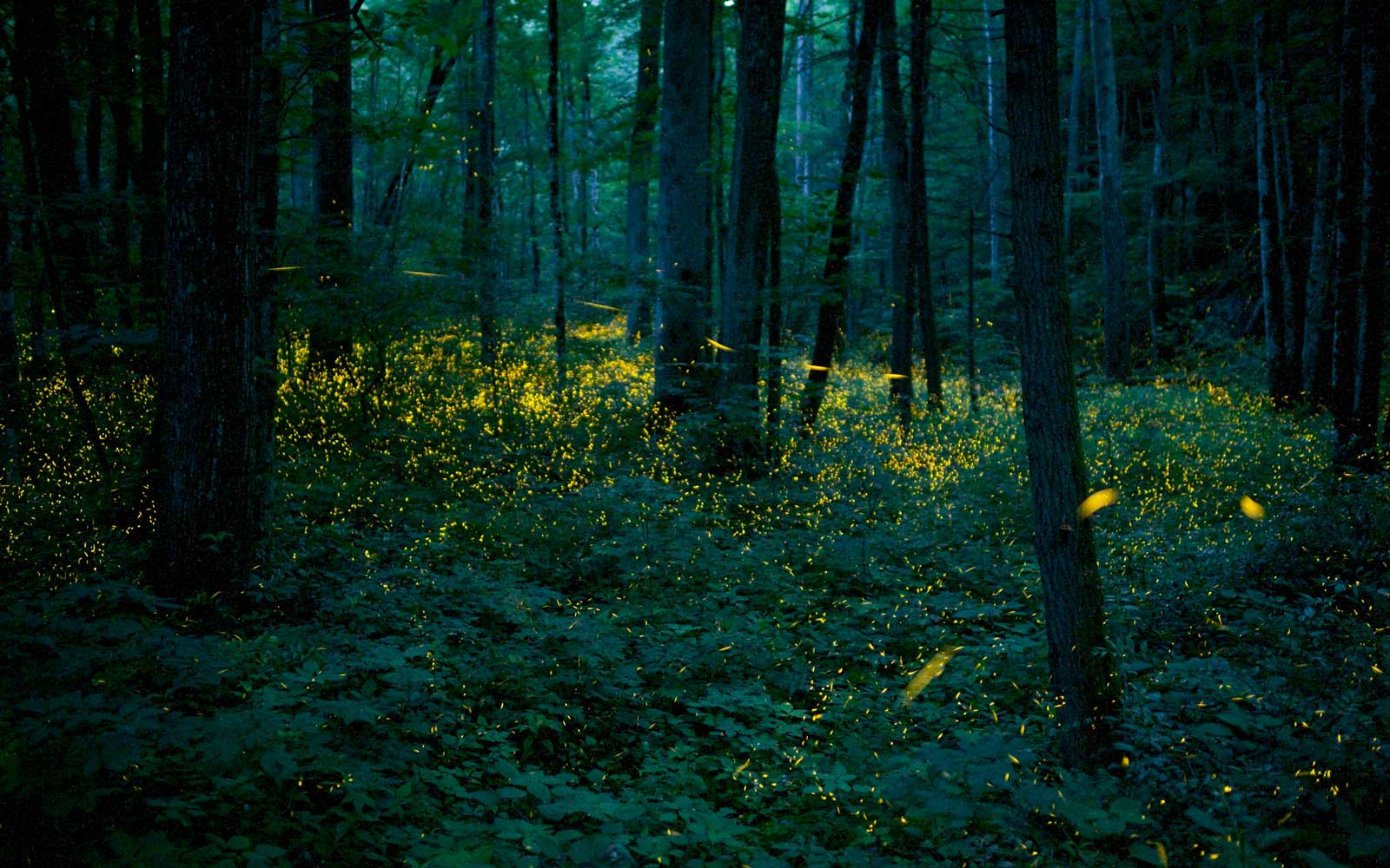 Fireflies in Smoky Mountains National Park, Tennesse