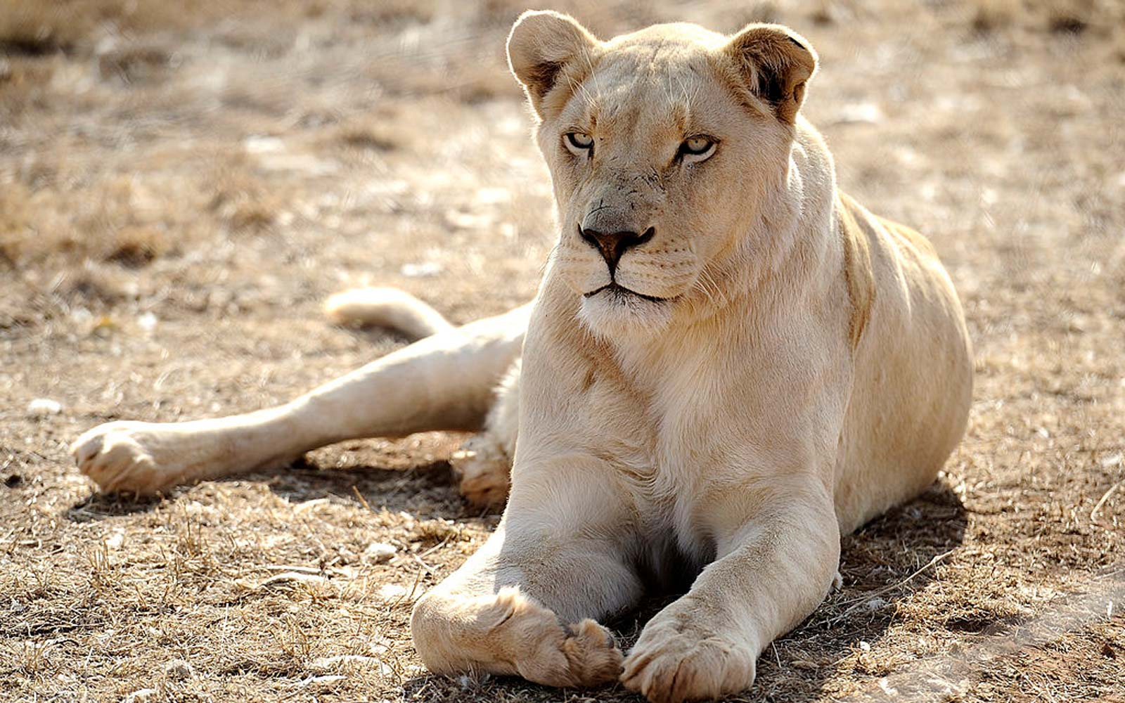 4-year-old Girl Fighting for Her Life After Lion Claws Her at Big Cat Farm