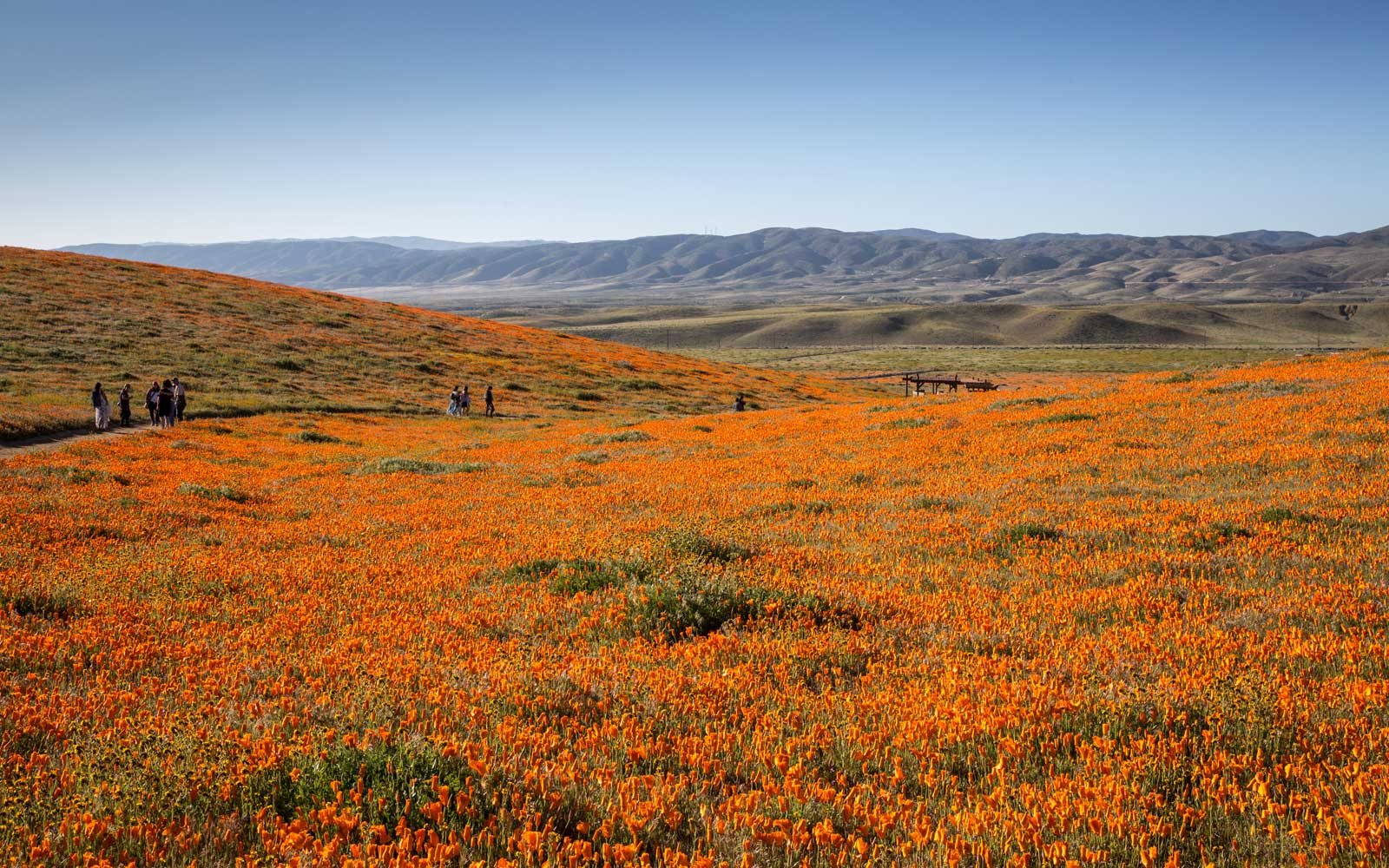 California's Desert Wildflower  Super Bloom