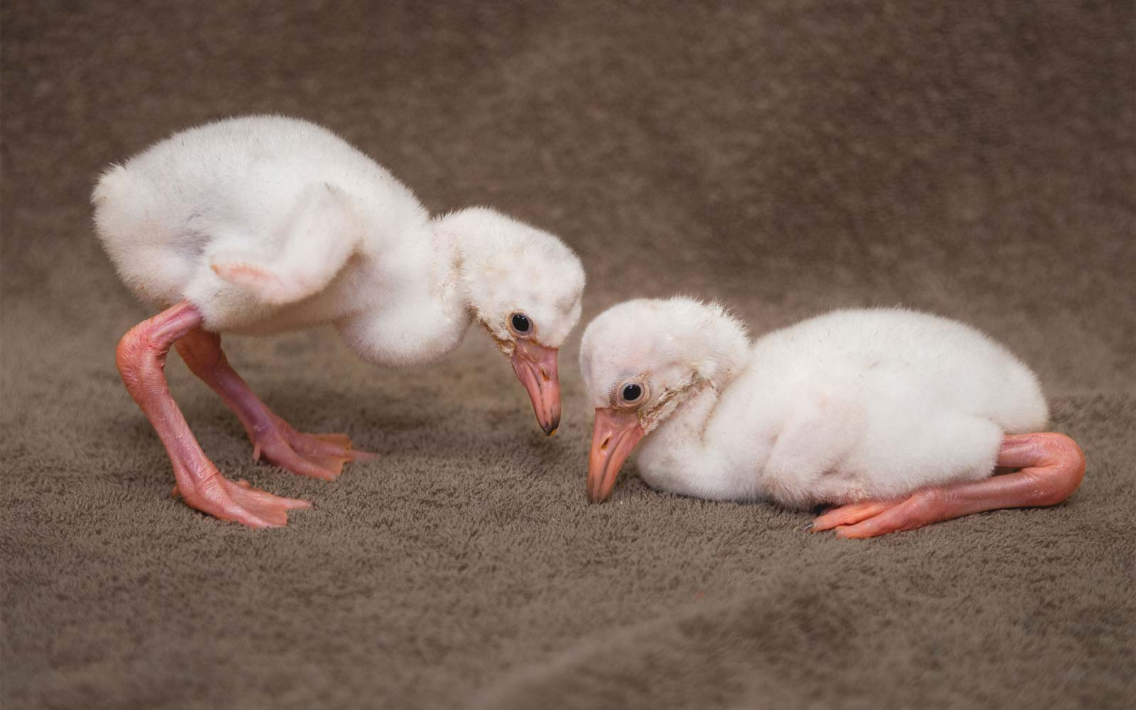 Ohio Zoo Welcomes Two Adorable Flamingo Chicks