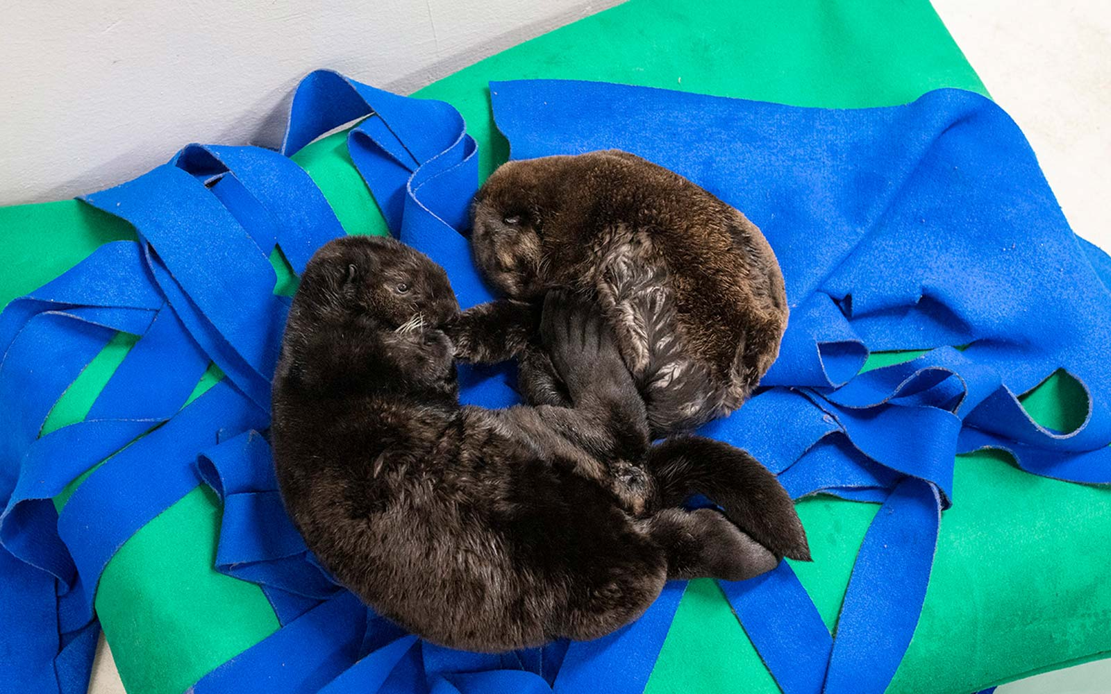 Orphaned Otter Pups Find Comfort in Cuddly Naps Together at Shedd Aquarium