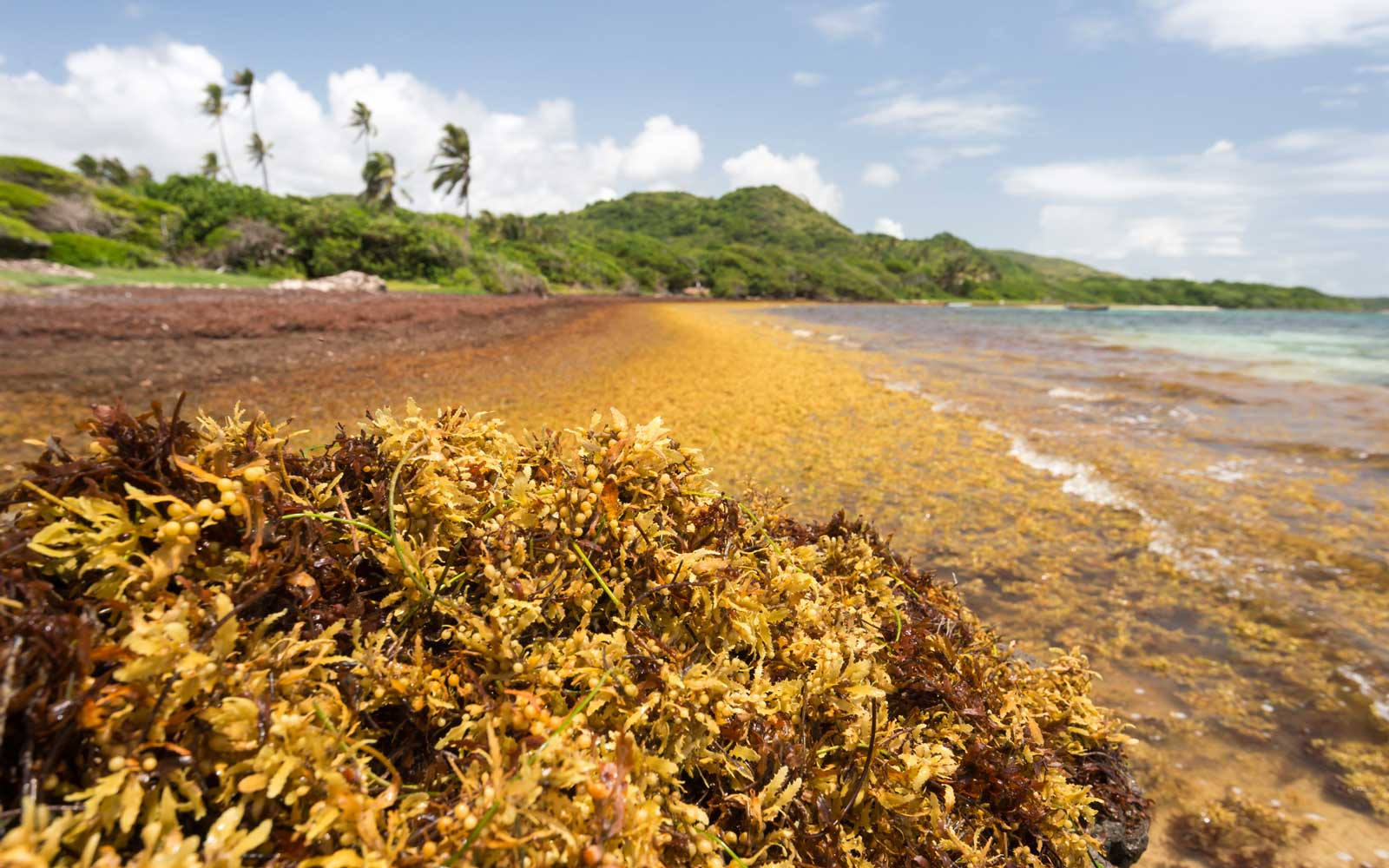 The World's Largest Seaweed Bloom Stretches All the Way Across the Atlantic Ocean