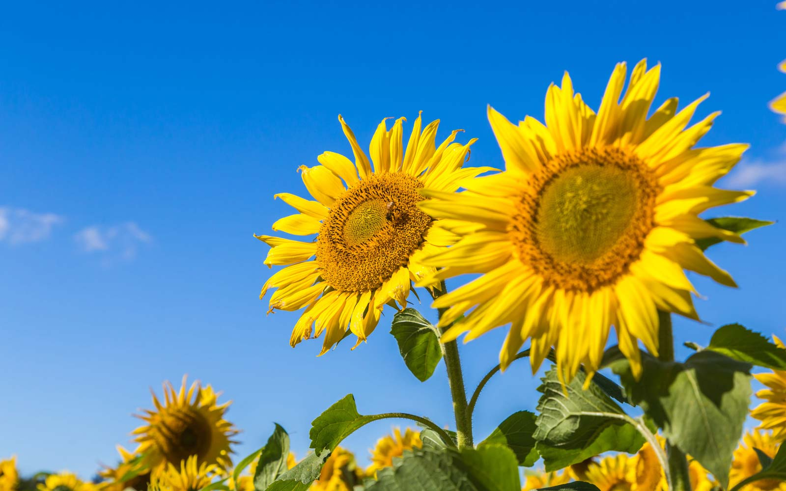 The Recent Heat Wave in the U.S. Is Causing Sunflowers to Bloom Early