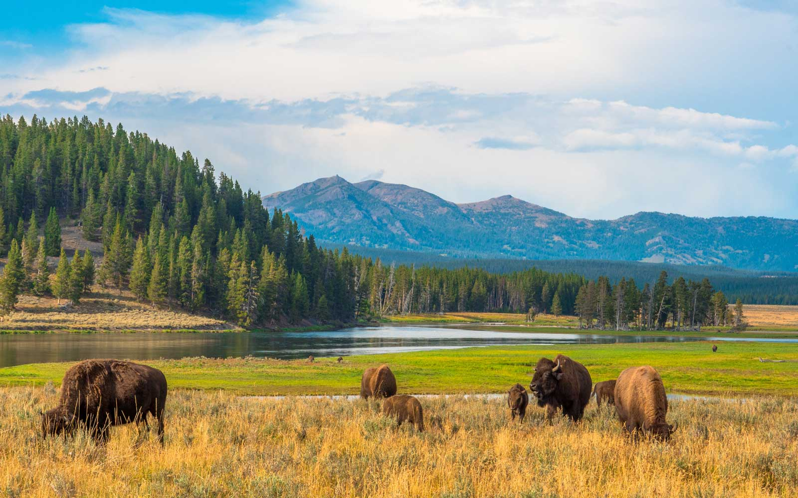 Yellowstone Tourist Caught on Camera Petting a Bison