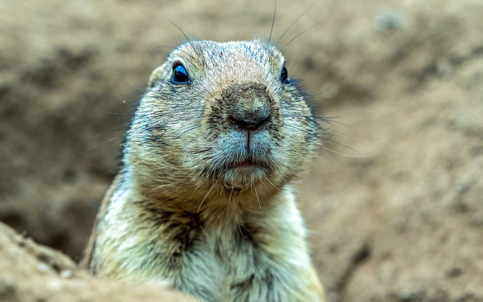 A Colony of Prairie Dogs With the Plague Shut Down a Colorado Wildlife Park