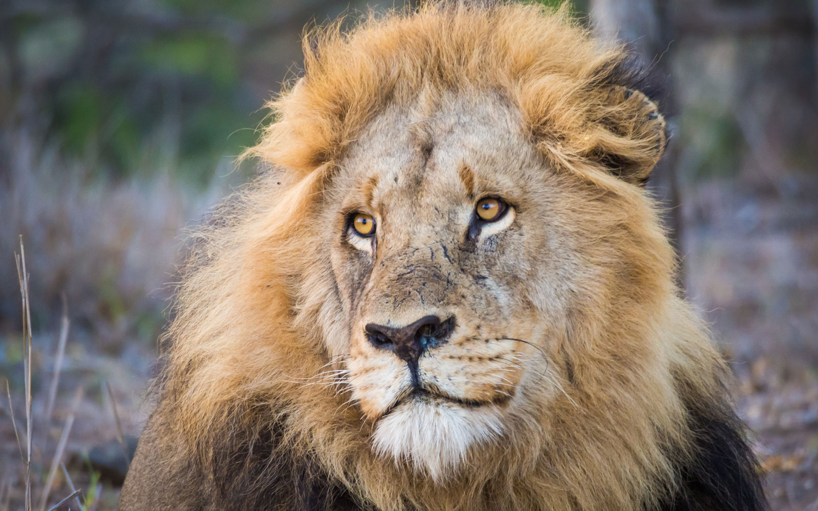Close-Up Portrait Of Lion With Large Mane