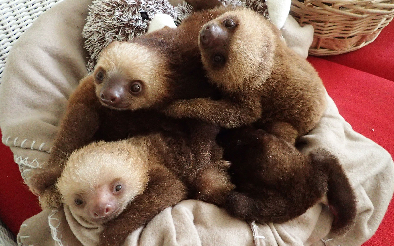 Six Adorable Rescue Sloths From Panama Just Arrived at the Indianapolis Zoo