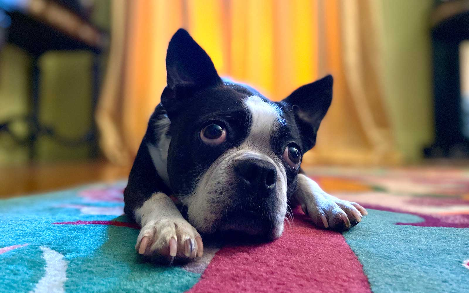 Apple iPhone 11 Pet Portrait Mode