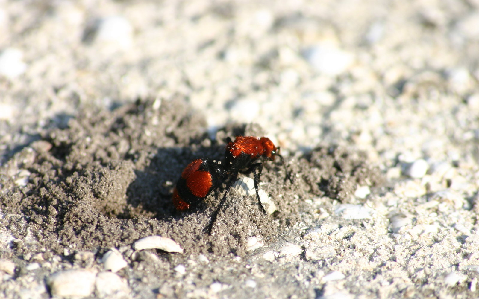 National Park Warns Against Bug With Sting so Painful It's Known As the 'Cow Killer Ant'