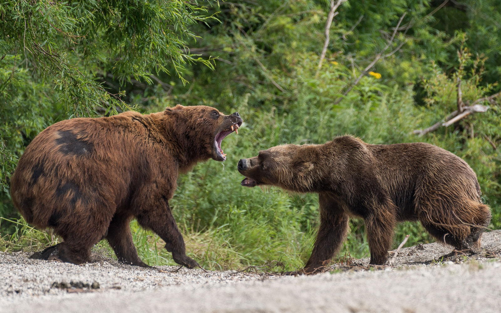 Grizzlies bears fight