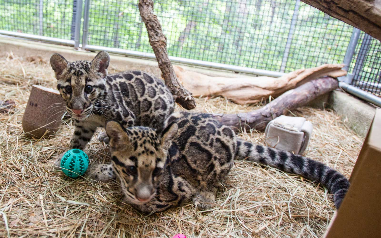 2 Adorable Clouded Leopard Clubs Have Arrived at the National Zoo for the First Time
