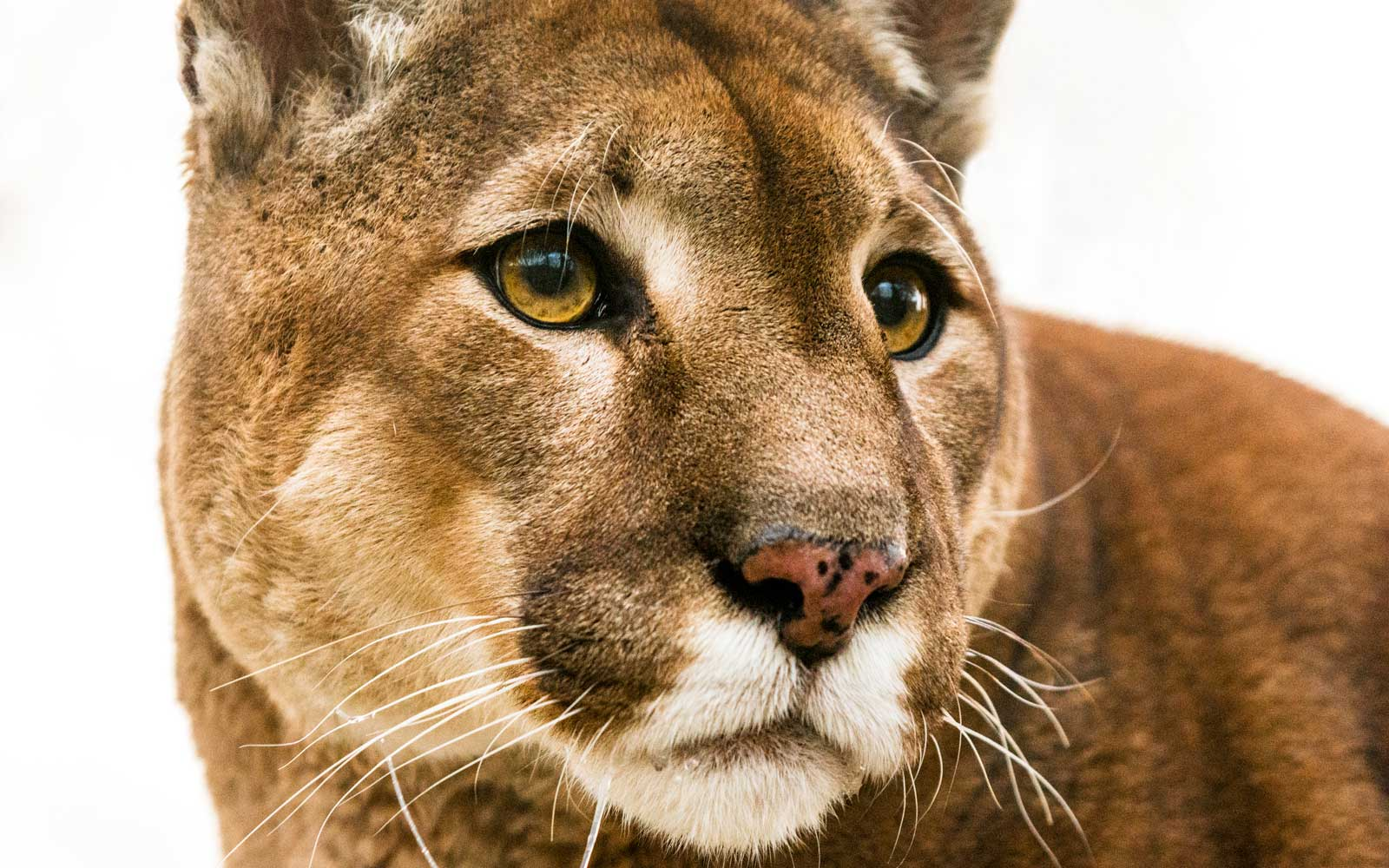 A Mountain Lion Chasing a Neighbor's Cat Ended up Accidentally Locking Itself in This Couple's Bathroom