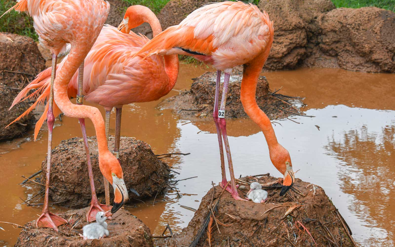 The Oklahoma City Zoo is 'tickled pink' to welcome 3 baby flamingos to its flock