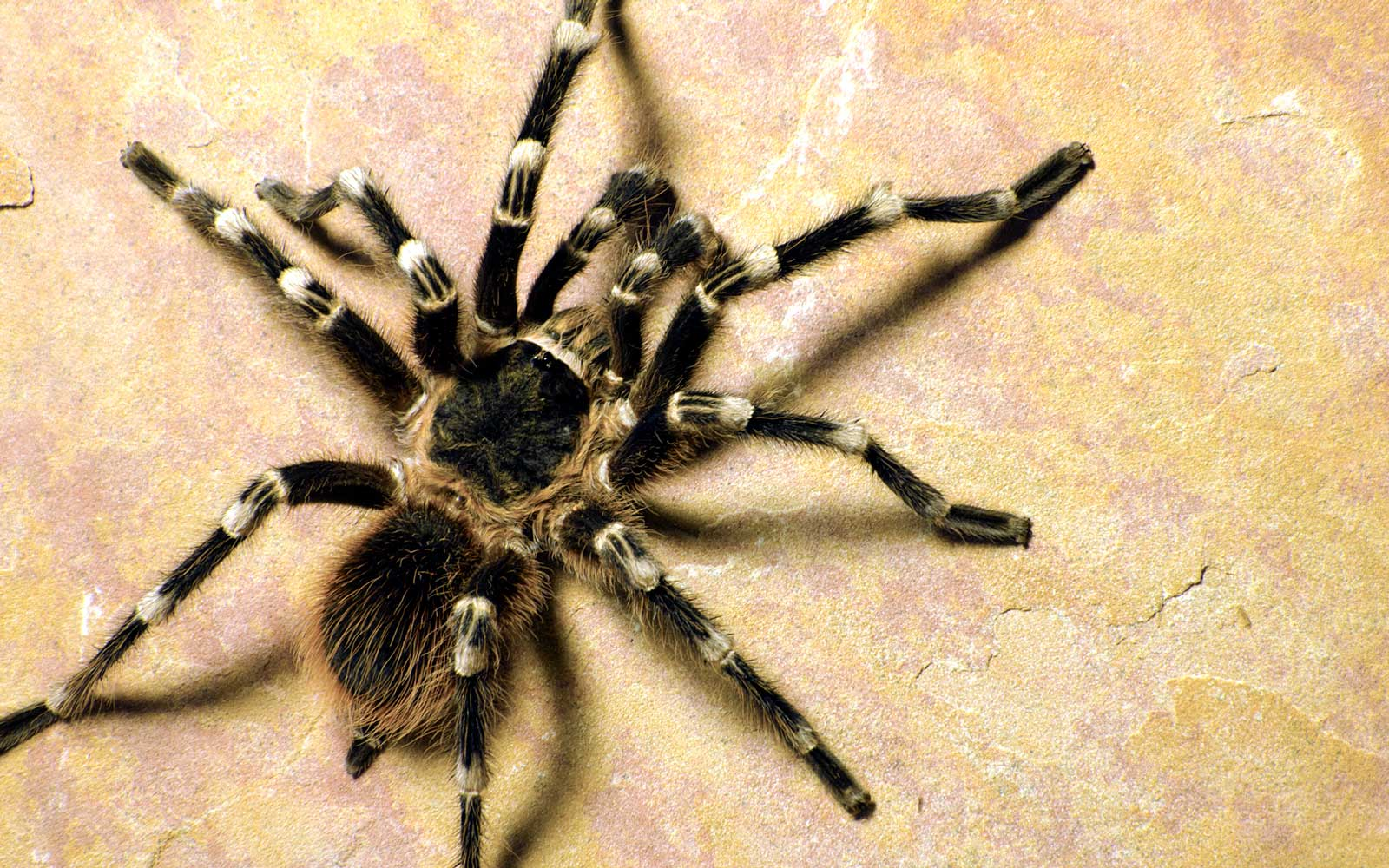 Man Caught Attempting to Smuggle Dozens of Tarantulas in Luggage