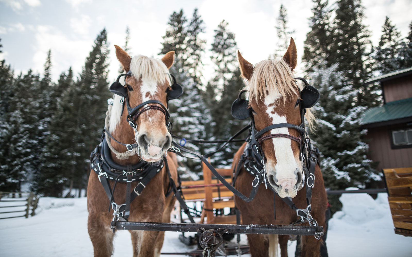 Horses at the Lone Mountain Ranch.