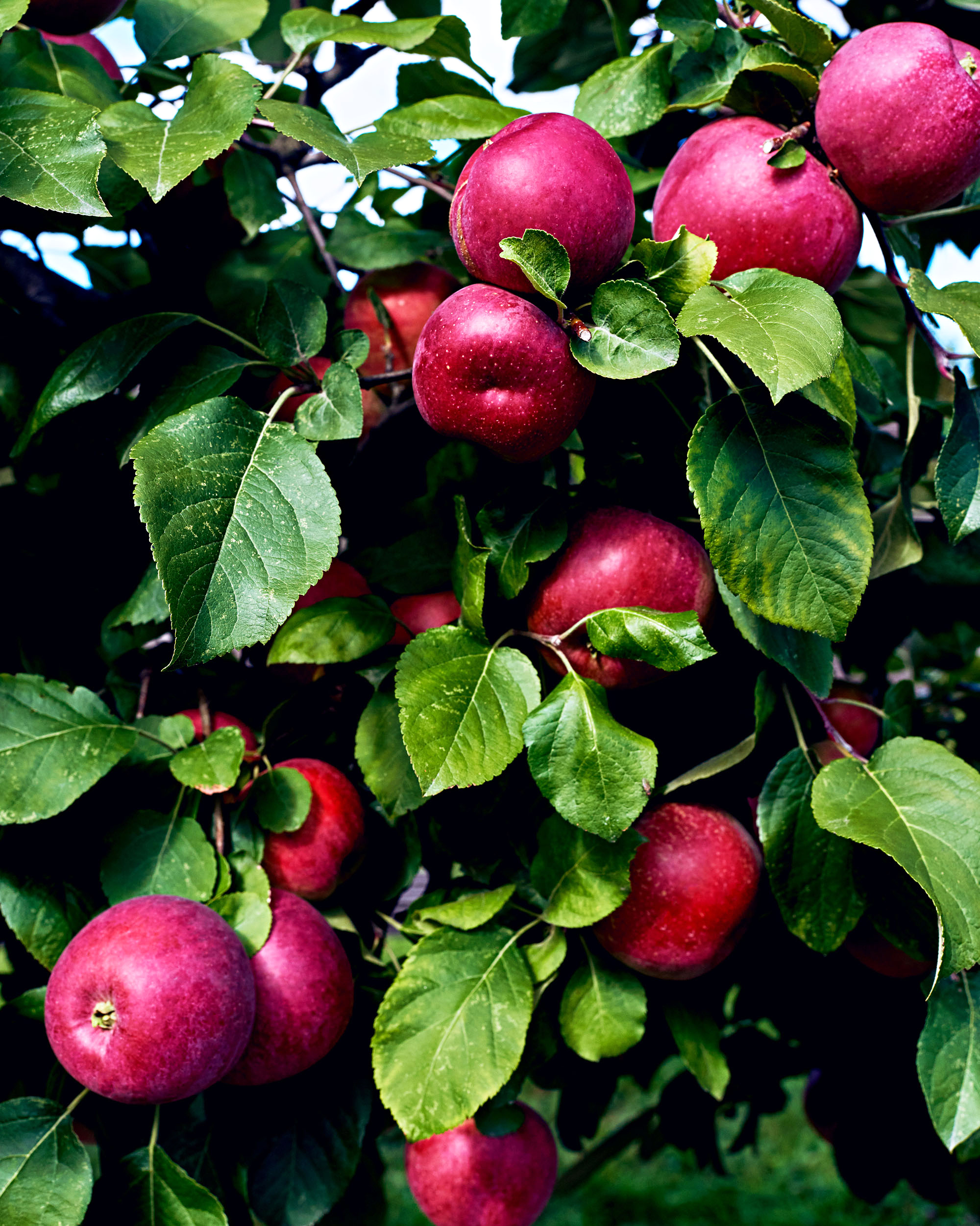 gravenstein apples on tree with leaves