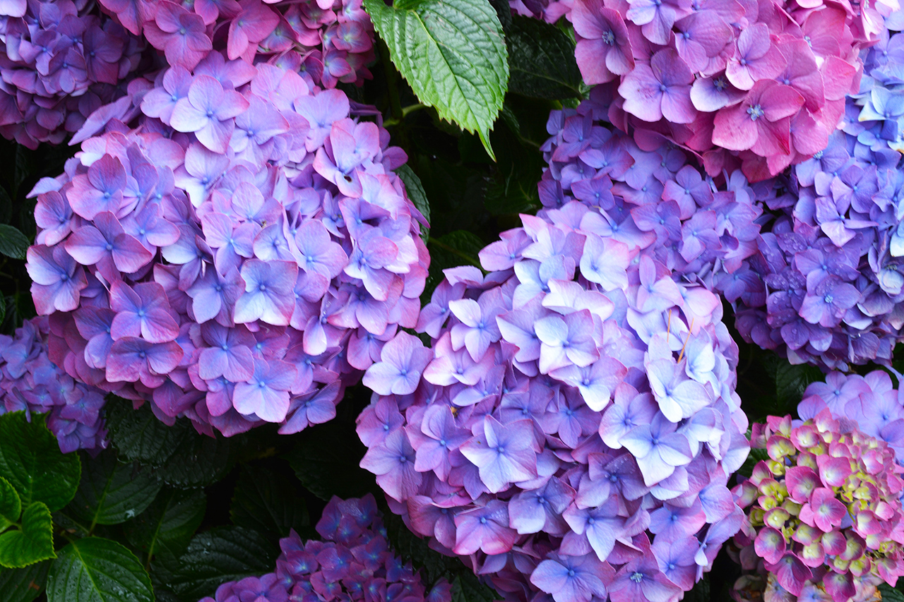 Five Mistakes You're Making with Your Hydrangeas