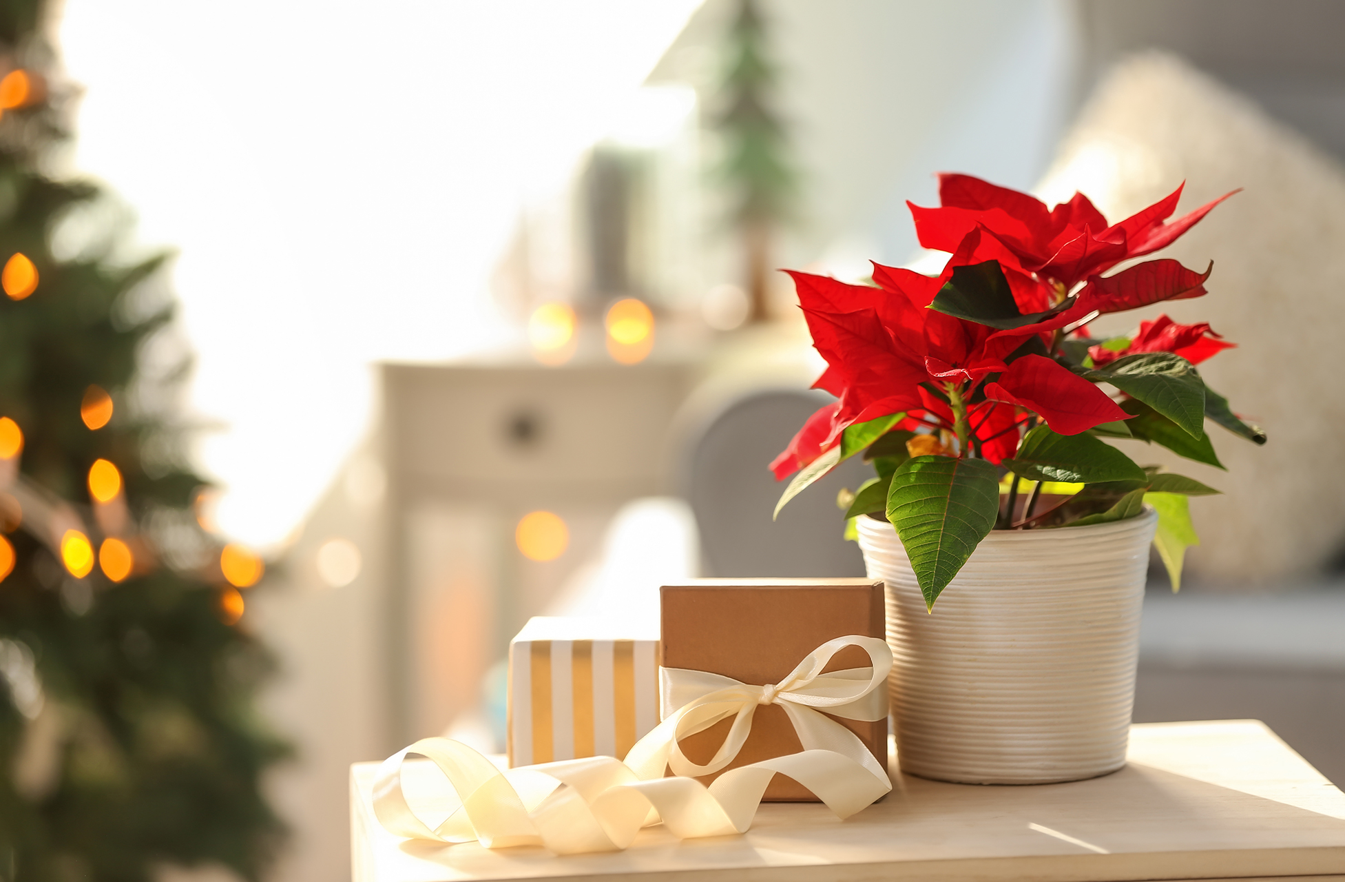 holiday poinsettia plan small gift packages