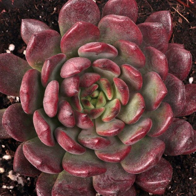 Five Festive Holiday Succulents to Add to Your Houseplant Collection