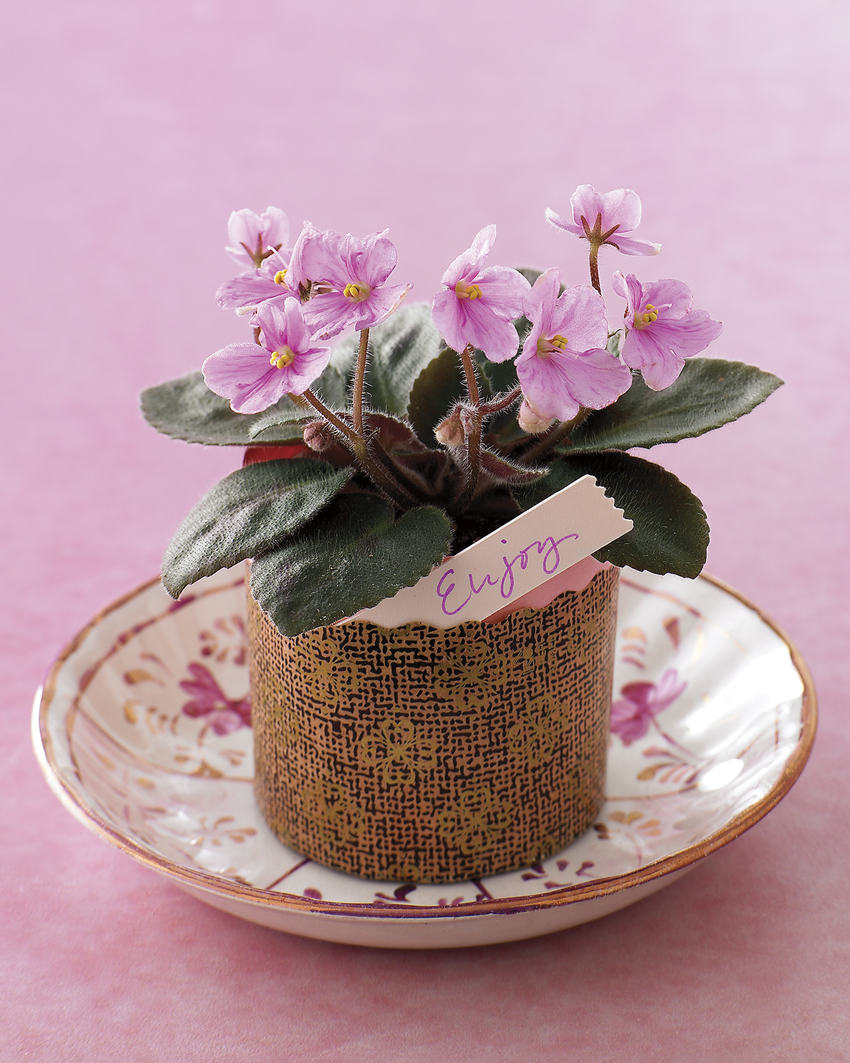 Potted African Violets