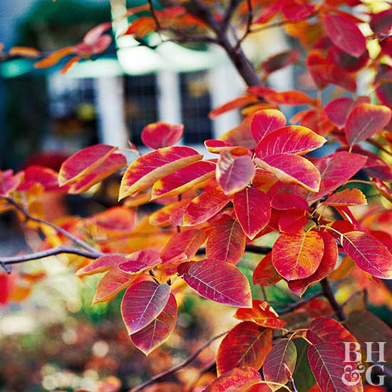 serviceberry Amelanchier 'Autumn Brilliance'