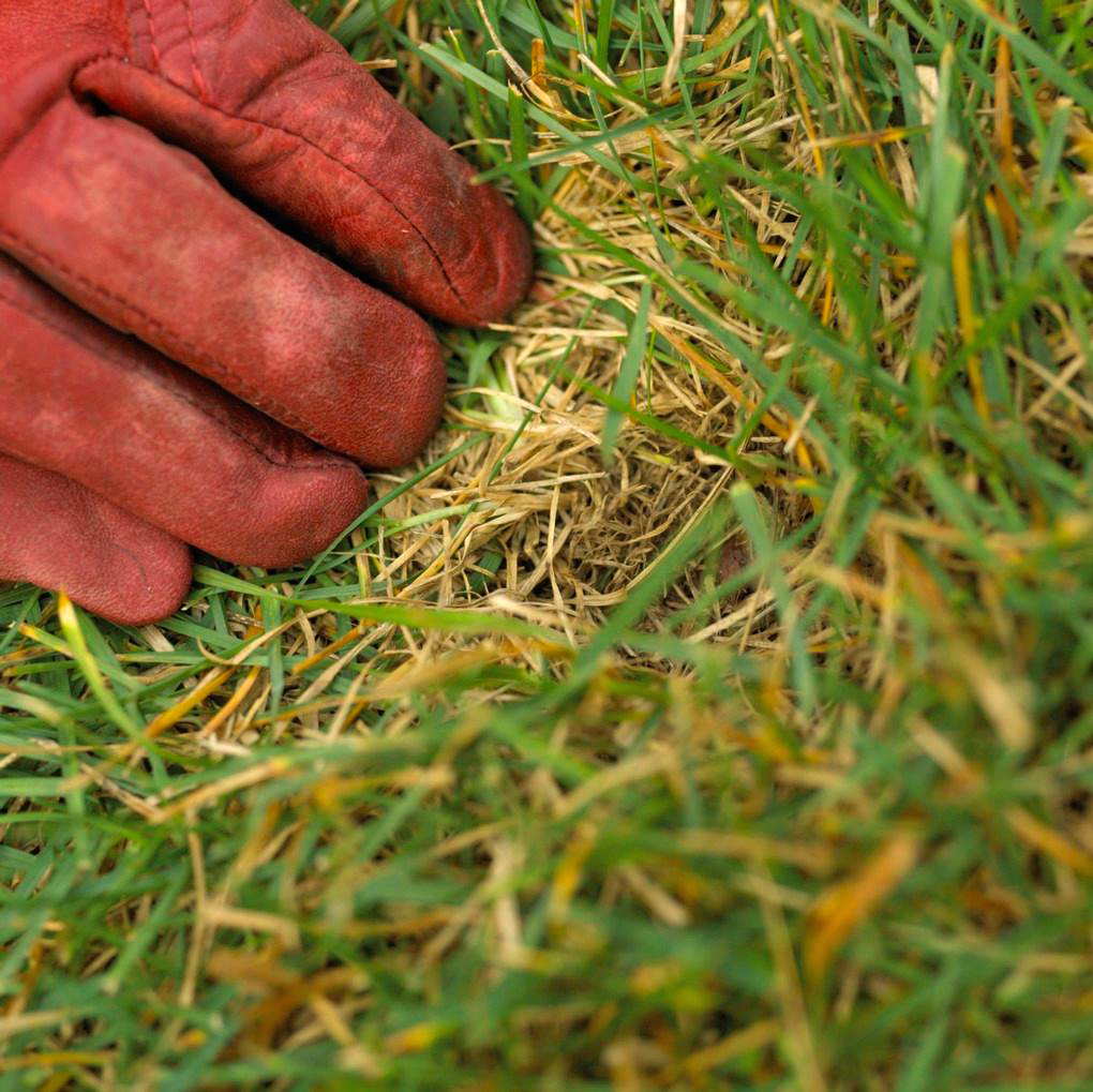 red gloved hand examining thatch in turf