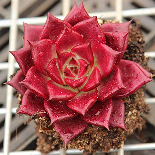 Red Echeveria agavoides 'Romeo Rubin' succulent planted in soil