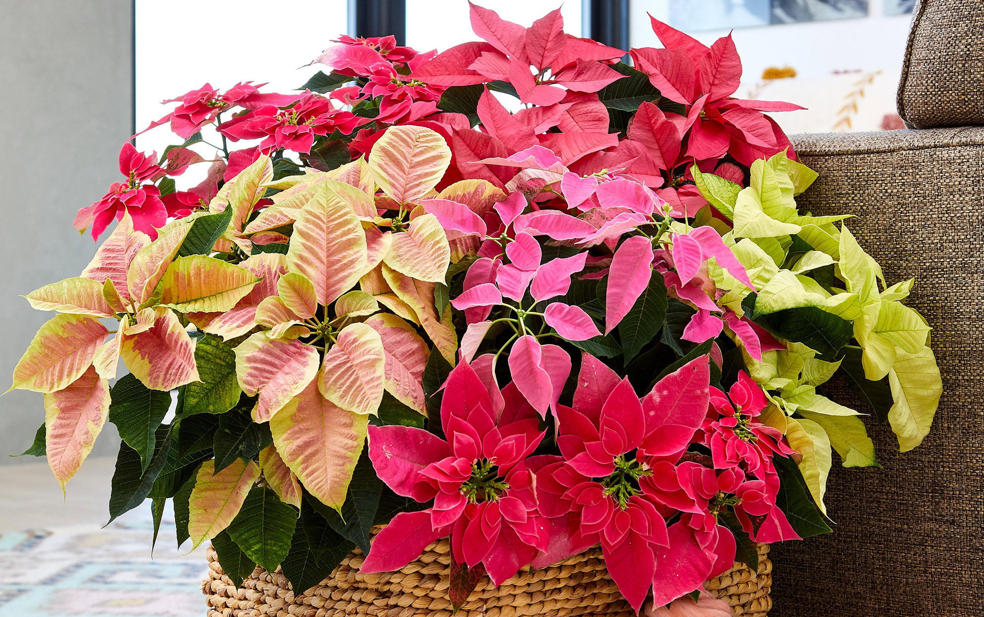 mixed poinsettia varieties in a basket