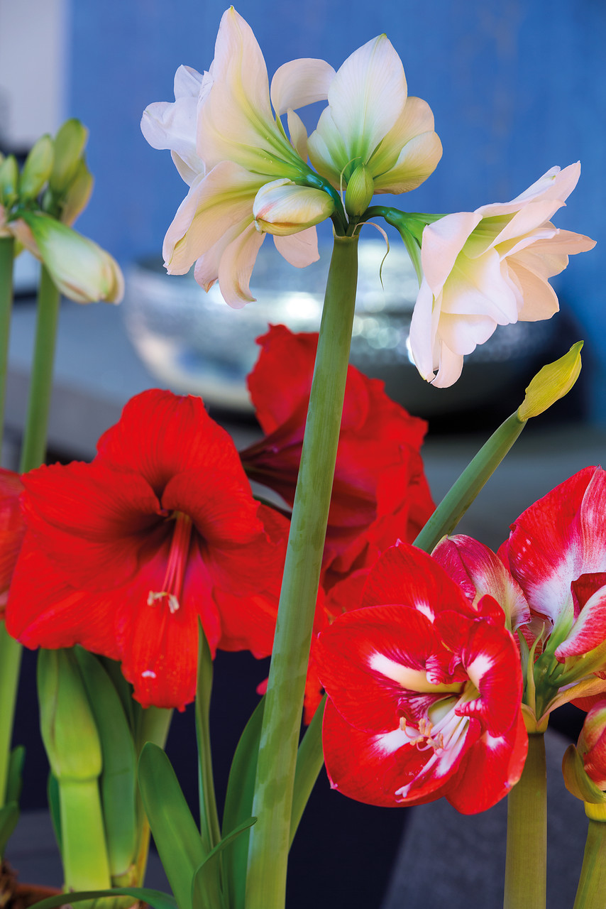 5 Fascinating Facts About Amaryllis You Probably Didn't Know